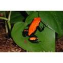 Dendrobates galactonotus orange NC