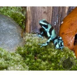 Dendrobates auratus blue and bronze IMPORT