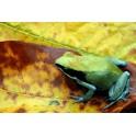 Mantella viridis IMPORT
