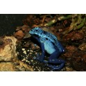 Dendrobates tinctorius azureus juv