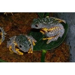 Cruziohyla craspedopus
